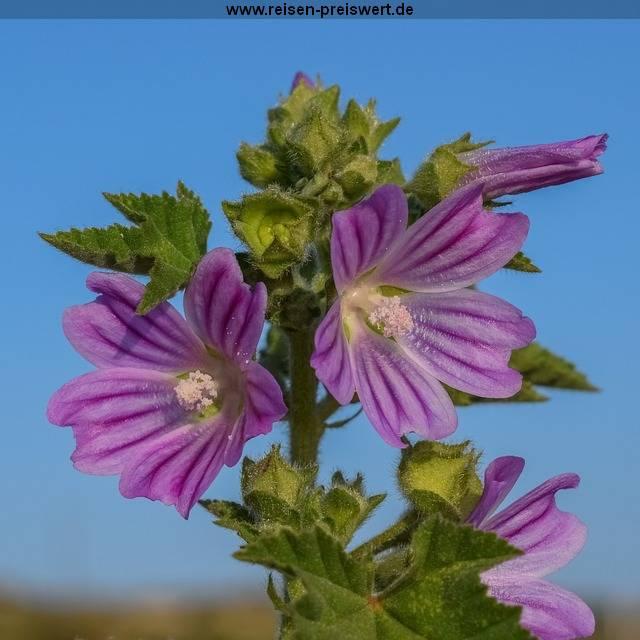 Flora und Fauna in Zypern - Malva Sylvestris