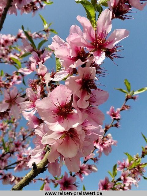 Mandelblüte im Frühling