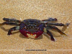 Eine Krabbe am Strand auf Fuerteventura