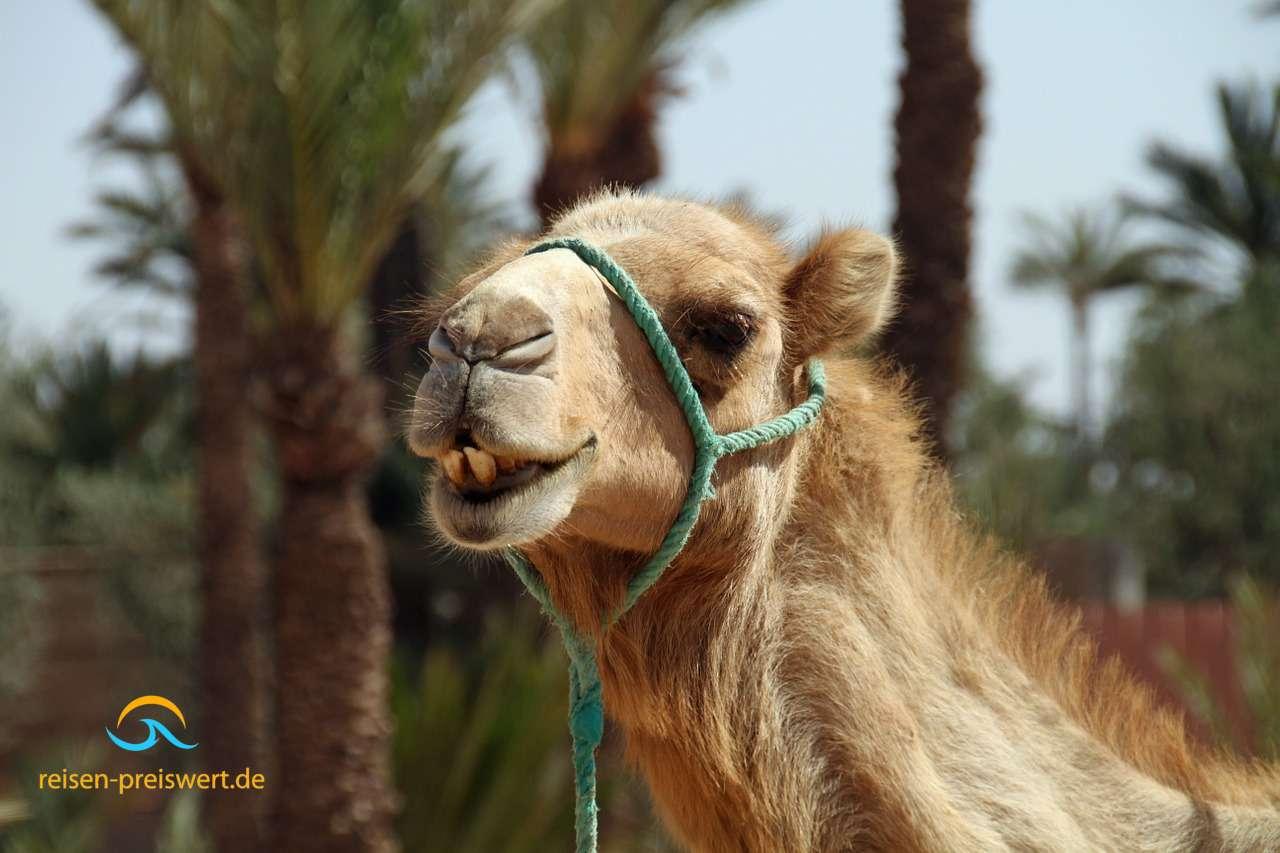 Urlaub im Orient - Kamele und Palmen